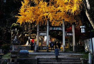 想去亭林公园观赏千年银杏的抓紧时间了
